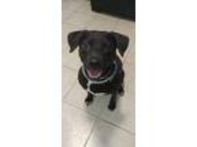 Adopt Leroy a Labrador Retriever, Pit Bull Terrier