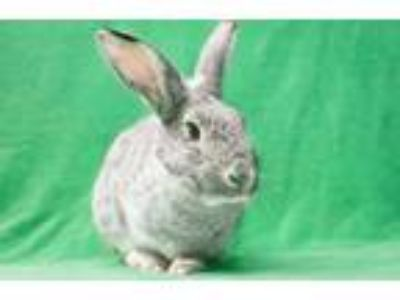 Adopt Misty #3 a Other/Unknown / Mixed (short coat) rabbit in Baton Rouge
