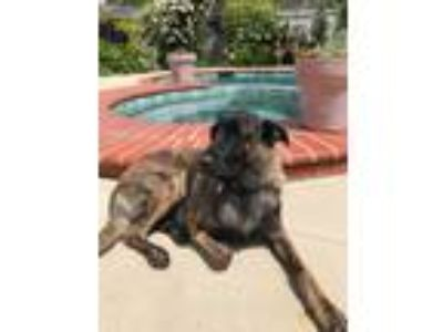 Adopt Tiger Wolf a Brindle Belgian Shepherd / German Shepherd Dog / Mixed dog in