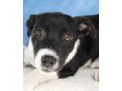 Adopt Anastasia a Black - with White Labrador Retriever / Border Collie / Mixed
