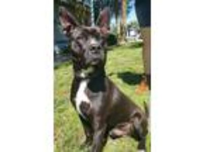 Adopt Benjamin a American Staffordshire Terrier / Mixed dog in Corpus Christi