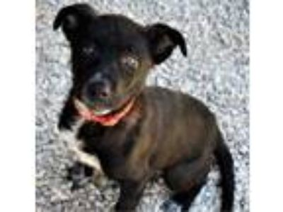Adopt Scout a Black Australian Cattle Dog / Mixed dog in Manchester