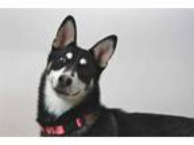 Adopt WHIDBEY* a Black - with White Husky / Mixed dog in Santa Cruz
