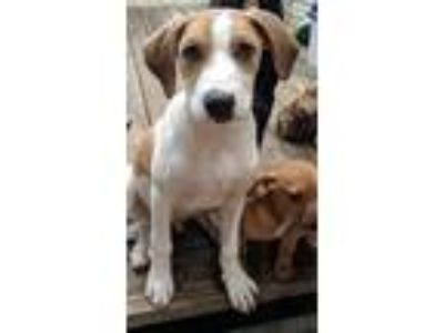 Adopt Luke a White - with Tan, Yellow or Fawn German Shorthaired Pointer /