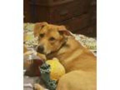 Adopt Jewel Annalise a Golden Retriever / Shepherd (Unknown Type) dog in