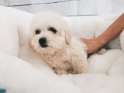 Maltipoo - Male - Snoopy