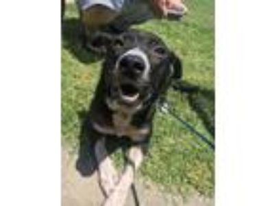 Adopt 42120017 a Black Border Collie / Mixed dog in Fort Worth, TX (25794185)