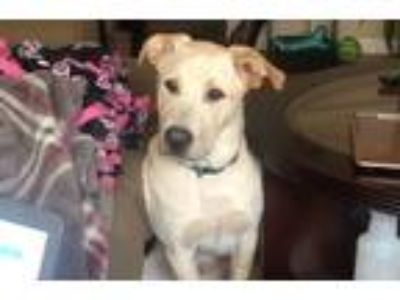 Adopt Luca a White - with Tan, Yellow or Fawn Husky / American Pit Bull Terrier