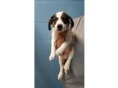Adopt Wiggle a Hound (Unknown Type) / Labrador Retriever / Mixed dog in