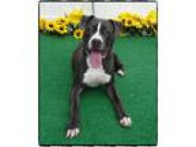 Adopt KING a Gray/Silver/Salt & Pepper - with White Pit Bull Terrier / Mixed dog