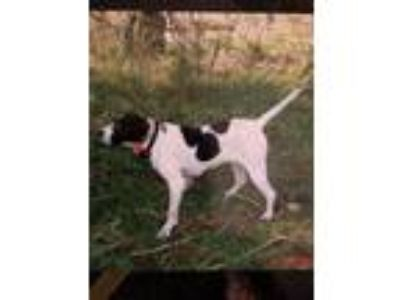 Adopt Molly a Black - with White Pointer / Mixed dog in Florence, KY (25159856)