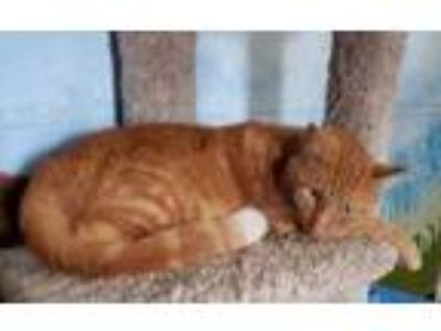 Adopt Carrot Top (C19-180) a Orange or Red Domestic Shorthair / Domestic