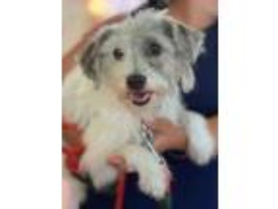 Adopt PATCHES a White - with Tan, Yellow or Fawn Terrier (Unknown Type