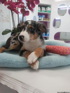 Australian Shepherd For Sale ,