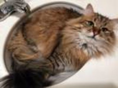 Adopt Goose a Calico or Dilute Calico Siberian cat in Hoover, AL (25845788)