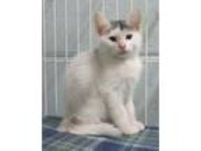 Adopt APOLLO a White Domestic Shorthair / Domestic Shorthair / Mixed cat in