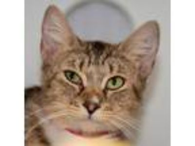 Adopt Delaney a Brown Tabby Domestic Shorthair / Mixed (short coat) cat in
