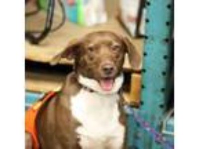 Adopt Faith a Chocolate Labrador Retriever