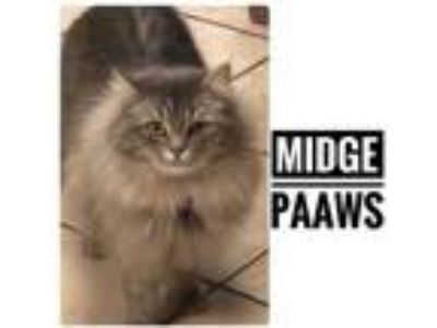 Adopt Midge a Gray or Blue Domestic Longhair / Domestic Shorthair / Mixed cat in