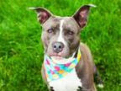 Adopt ROSEMARY a Pit Bull Terrier, Mixed Breed