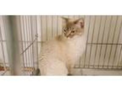 Adopt Kitty a Gray or Blue (Mostly) Domestic Shorthair / Mixed cat in Rock