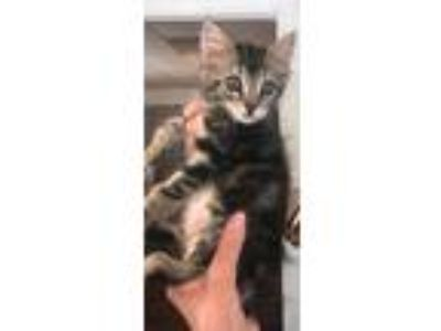 Adopt Olivia a Spotted Tabby/Leopard Spotted Domestic Shorthair / Mixed (short