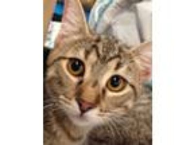 Adopt Tres a Tan or Fawn Tabby Domestic Shorthair (short coat) cat in Green