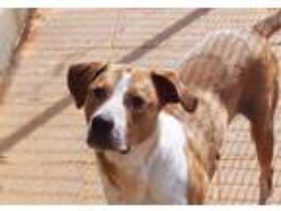 Adopt Dustin a Hound, Labrador Retriever