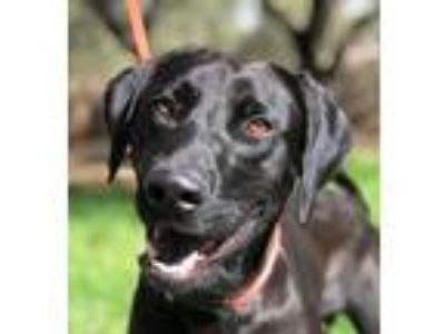 Adopt LENNON a Black Labrador Retriever / Mixed dog in Pittsburgh, PA