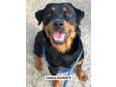 Adopt Cookie a Black Rottweiler / Mixed dog in Fort Worth, TX (25633614)