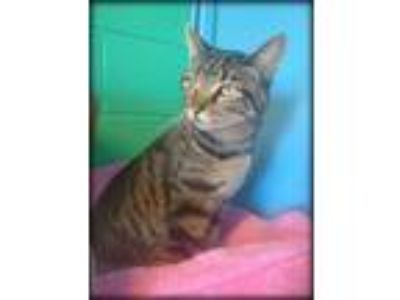 Adopt Zander a Domestic Short Hair