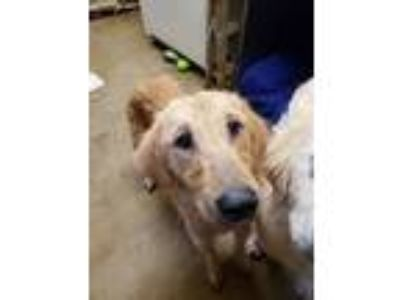 Adopt Madonna a Golden Retriever