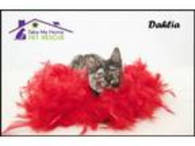 Adopt Dahlia a Tortoiseshell Domestic Mediumhair / Mixed (medium coat) cat in
