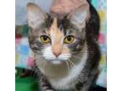 Adopt Annette a Domestic Short Hair