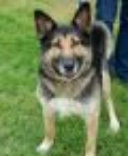 Missy German Shepherd Dog Dog