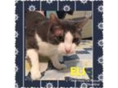 Adopt Eli a Gray or Blue (Mostly) Domestic Shorthair (short coat) cat in
