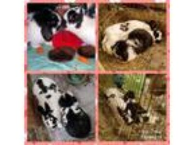 Adopt Dot and Tux a Black Mini Lop / Mixed (short coat) rabbit in Waynesboro