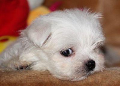 Maltese PUPPY FOR SALE ADN-96703 - Maltese Female Puppy
