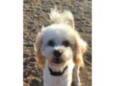 Adopt Franklin a White - with Tan, Yellow or Fawn Poodle (Miniature) / Terrier