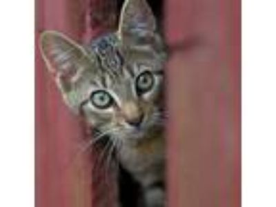 Adopt Barn Cats a Domestic Short Hair