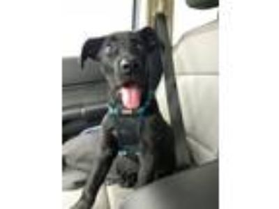 Adopt Sheldon a Labrador Retriever, Shepherd