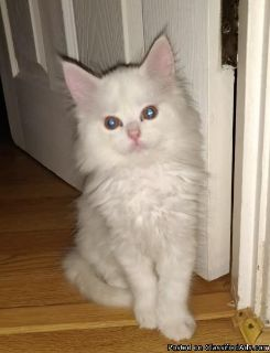 2 Kittens Maine Coon