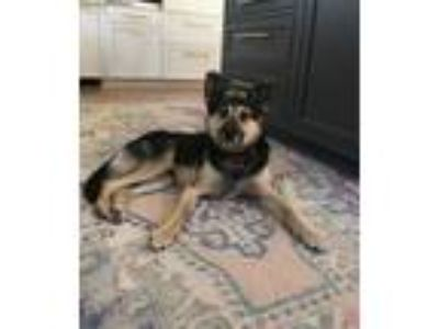Adopt Chadwick a German Shepherd Dog