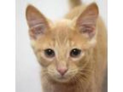 Adopt Pierre a Tan or Fawn (Mostly) Domestic Shorthair / Mixed (short coat) cat