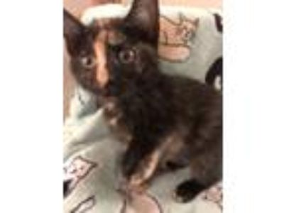 Adopt Topaz a Domestic Shorthair / Mixed cat in Union Grove, WI (25814667)