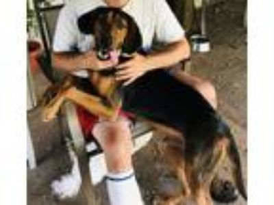 Adopt Toby a Brown/Chocolate - with Black Halden Hound (Haldenstrover) dog in