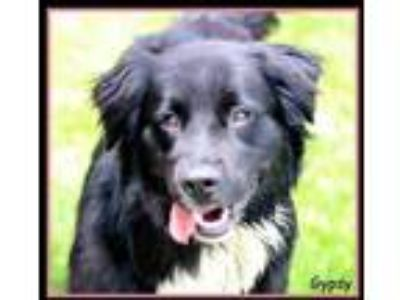 Adopt Gypsy a Black Australian Shepherd / Labrador Retriever / Mixed dog in