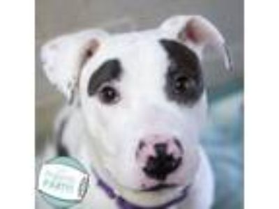 Adopt Pierre a Pit Bull Terrier, Mixed Breed