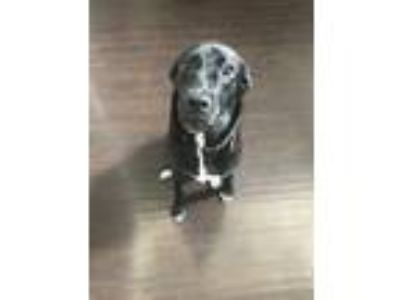 Adopt Mia a Black - with White American Pit Bull Terrier / Labrador Retriever