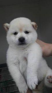 Shiba Inu PUPPY FOR SALE ADN-72748 - MINI White Shiba Inu female puppy SF LA